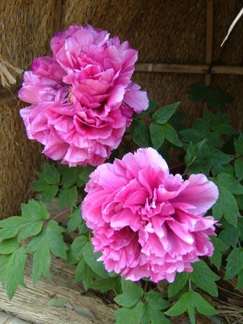 Flower of scotland - 1 part 10