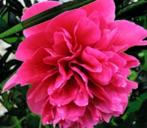 State Flower of Indiana  Peony Pictures