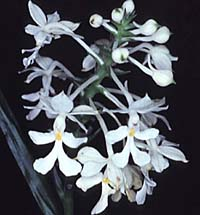 Colombia National Flower Christmas Orchids