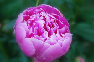 State Flower of Indiana  Peony