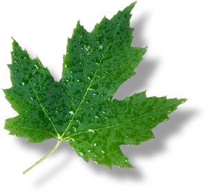 Canada State Flower Maple Leaf
