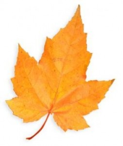 Canada State Flower Maple Leaf
