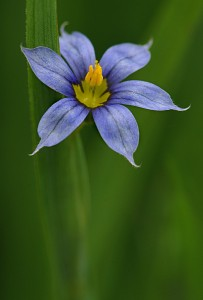National Flower of Bermuda Blue-Eyed Grass