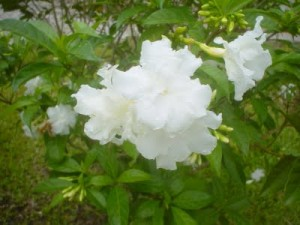 Cuba National Flower Butterfly Jasmine
