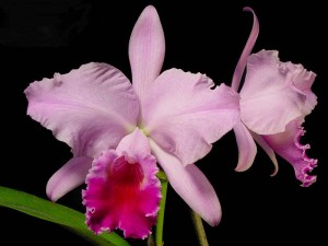 Brazil National Flower Cattleya Labiata