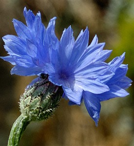 Cornflower Knapweed