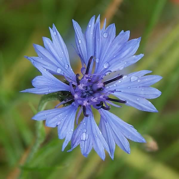 The internet knapweed or cornflower is a state flower of germany