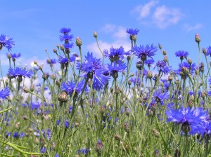Knapweed or Cornflower State Flower of Germany Pictures Photos