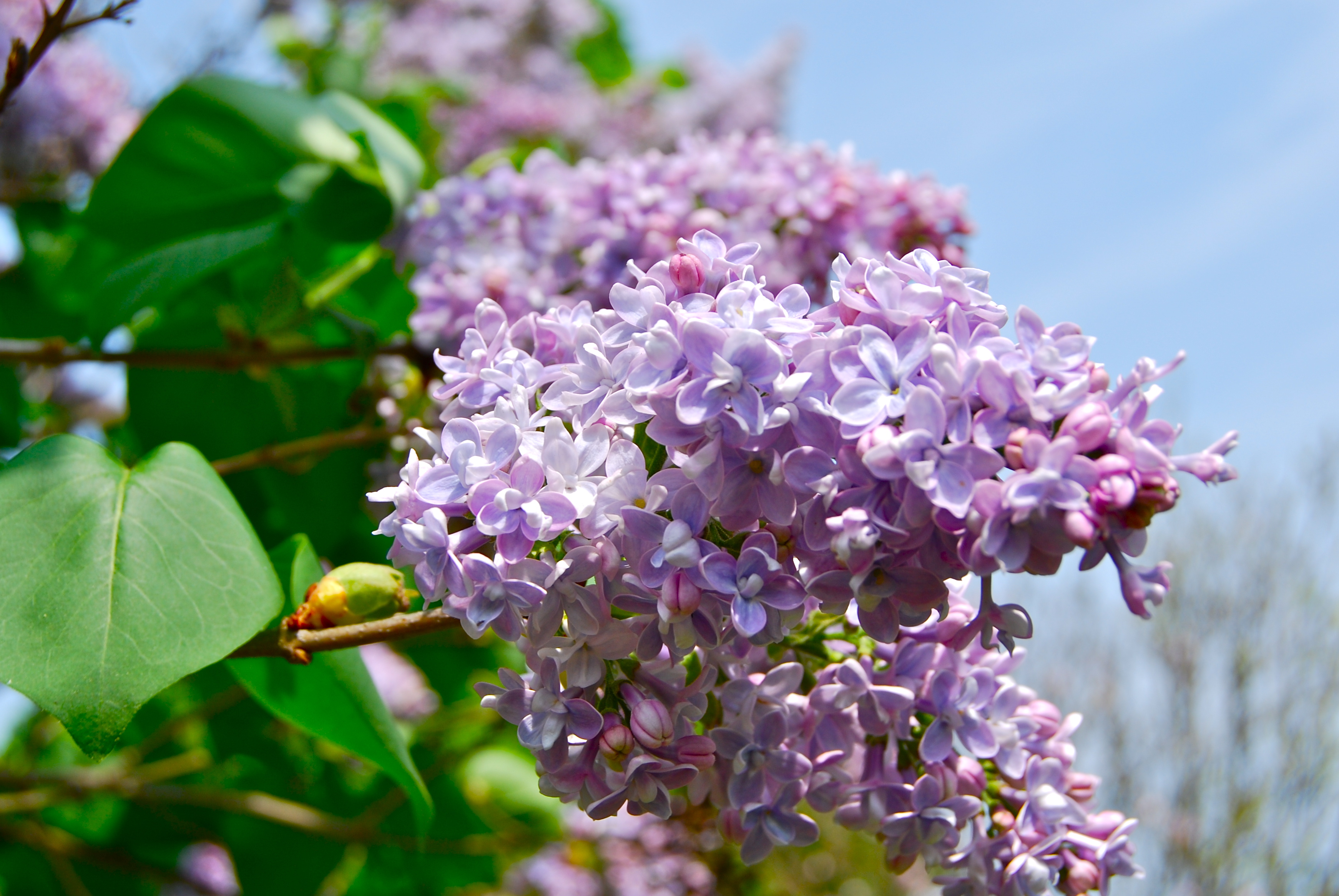 New Hampshire State Flower Purple Lilac