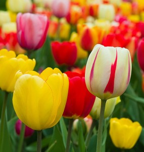 Holland National Flower Tulips