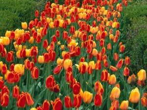 Holland National Flower Tulips Pictures
