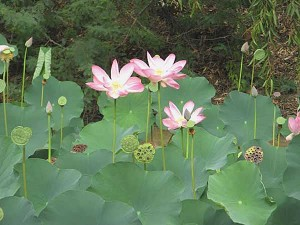 Growing the National Flower of India Lotus