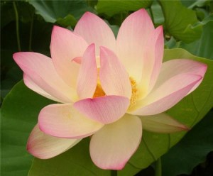 National Flower of India Lotus