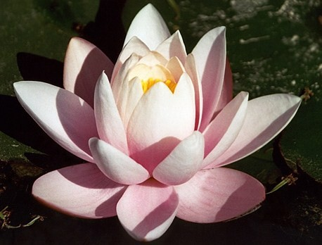 why is the lotus the national flower of india
