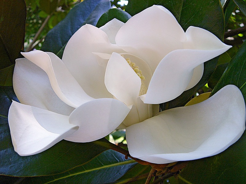 Mississippi State Flower Southern Magnolia Pictures