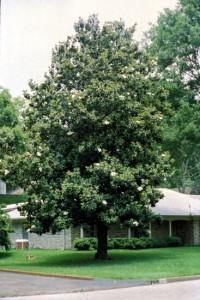 State Flower of Mississippi Southern Magnolia