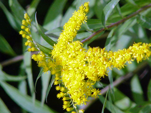 Kentucky State Flower Goldenrod Pictures