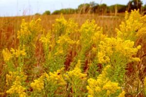 Kentucky State Flower Goldenrod