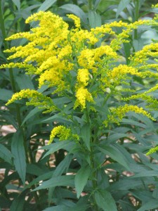 Kentucky State Flower Goldenrod