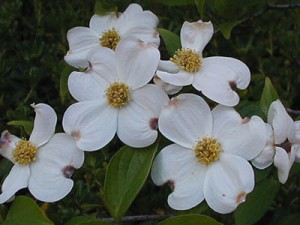State Flower of Virginia The American Dogwood