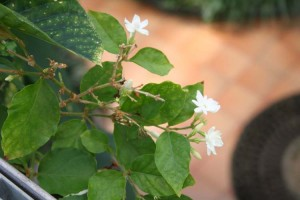 Philippines National Flower the Sampaguita