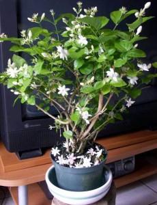 Philippines National Flower the Sampaguita