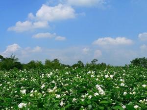 Indonesia National Flower Melati Jasminum Sambac