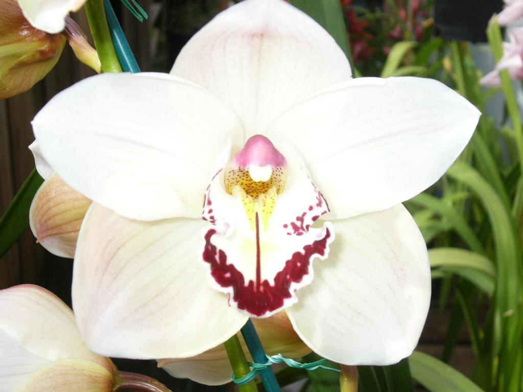 The National Flowers Of Indonesia The Melati Moon Orchid And