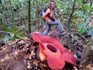 Indonesia National Flower Rafflesia