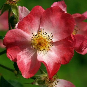 Romania National Flower Dog Rose