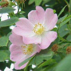 Romania National Flower Dog Rose