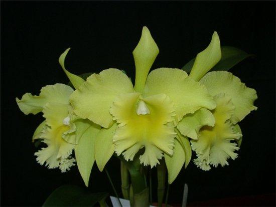 Honduras National Flower Orchid Brassavola Digbyana