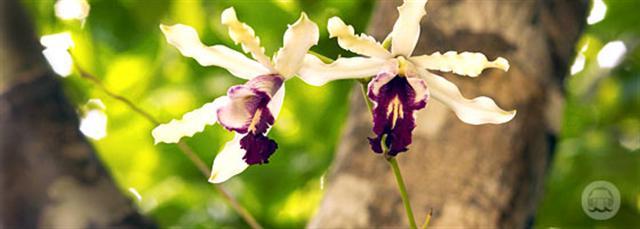 Wild Banana Orchid Cayman Island