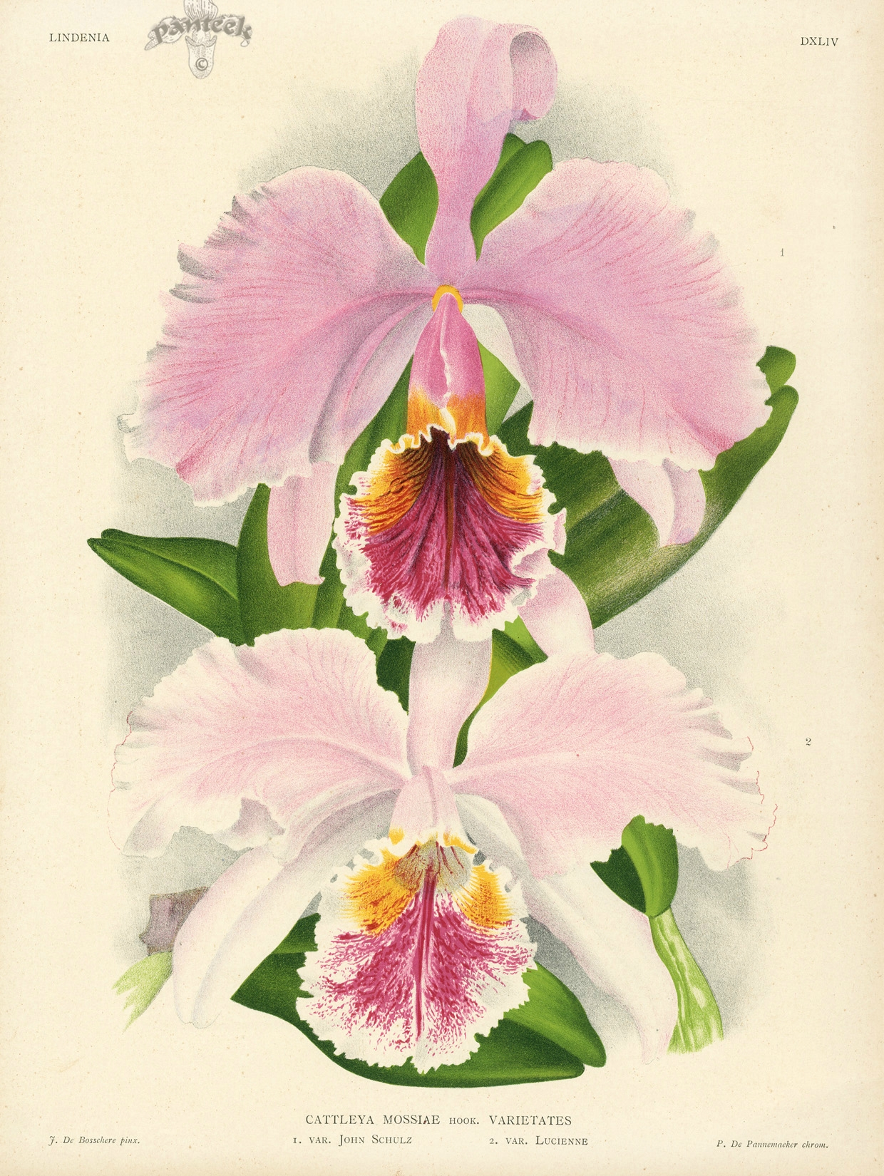 National Flower of Venezuela: Orchid Flor de Mayo (Cattleya mossiae)