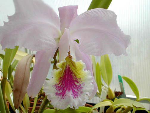 Orchid Flor-de-Mayo Cattleya mossiae,